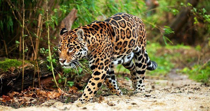 Jaguar-en-la-selva