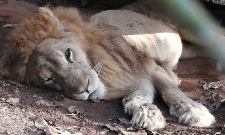 Culminó el análisis veterinario-forense por muerte del León 'Júpiter' 1