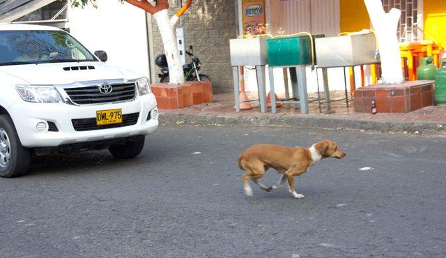 Conductores, ¡Ojo con animales en las vías! 1