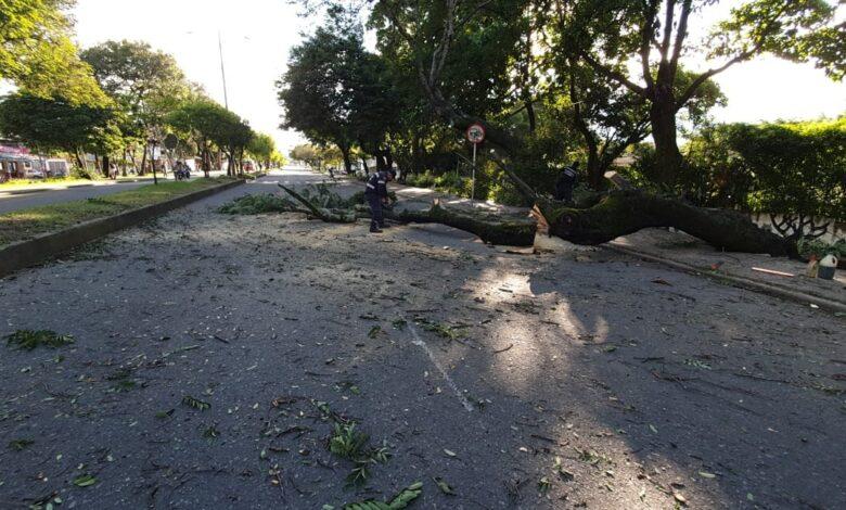 Árboles, peligro inminente en Ibagué 3