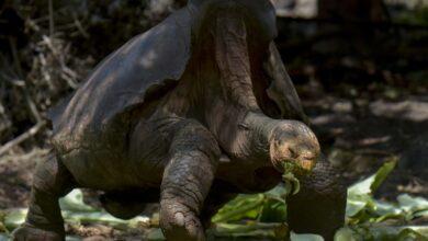 Diego, la tortuga que salvó a su especie, regresa a casa 9