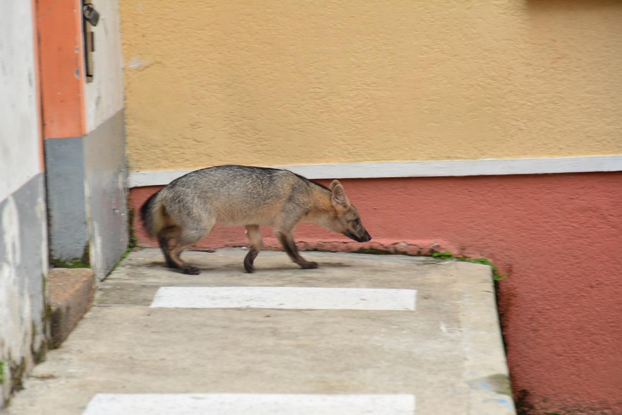 Zorro cangrejero encontrado en el centro de Ibagué será liberado 4