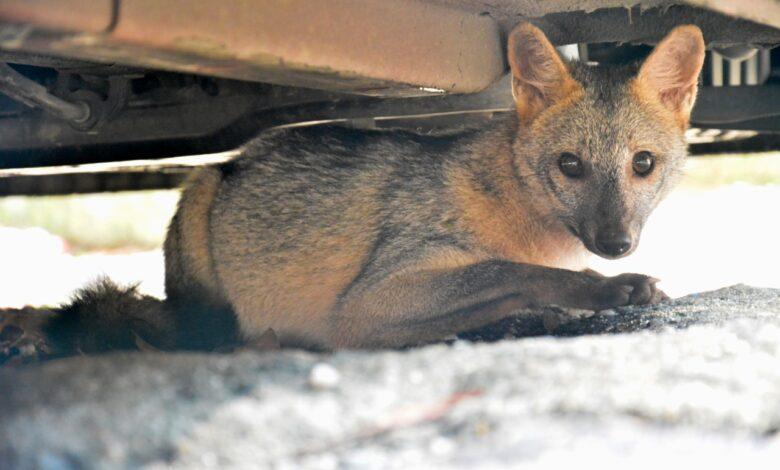 Zorro cangrejero encontrado en el centro de Ibagué será liberado 3