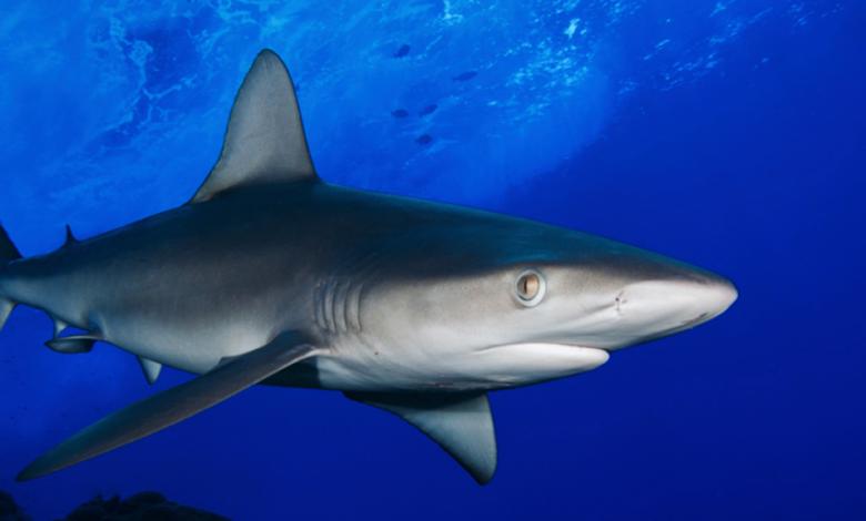 No más pesca de tiburones en aguas colombianas 1