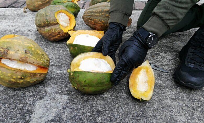 ¿Ahora la cocaína se da en las matas de ahuyama? 1