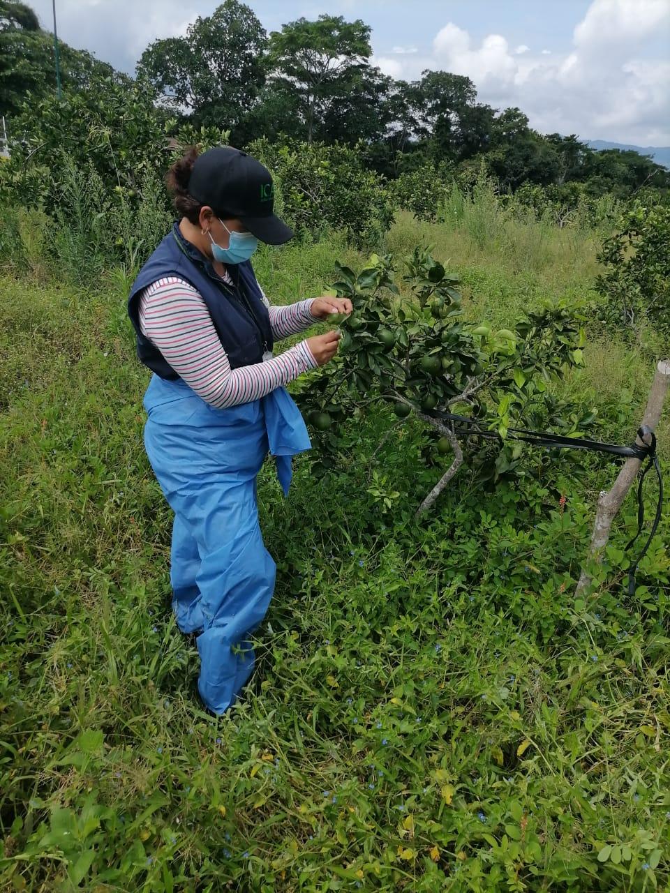 Enfermedad de los cítricos amenaza a Colombia, cultivos del Tolima no reportan daños 6