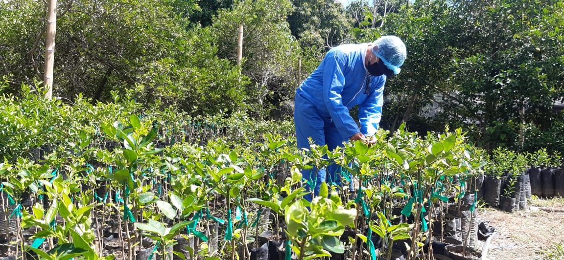 Enfermedad de los cítricos amenaza a Colombia, cultivos del Tolima no reportan daños 10