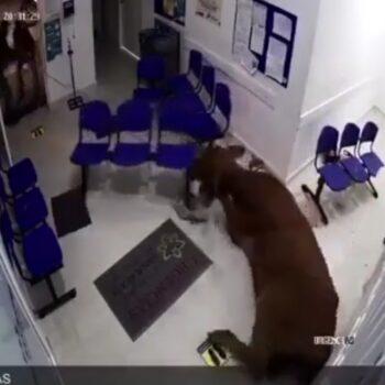 Vaca atacó a pacientes en urgencias de centro asistencial 2