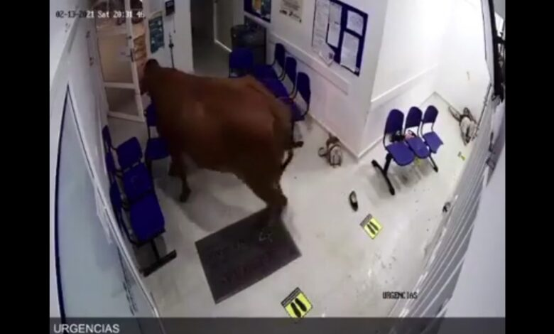 Vaca atacó a pacientes en urgencias de centro asistencial 1