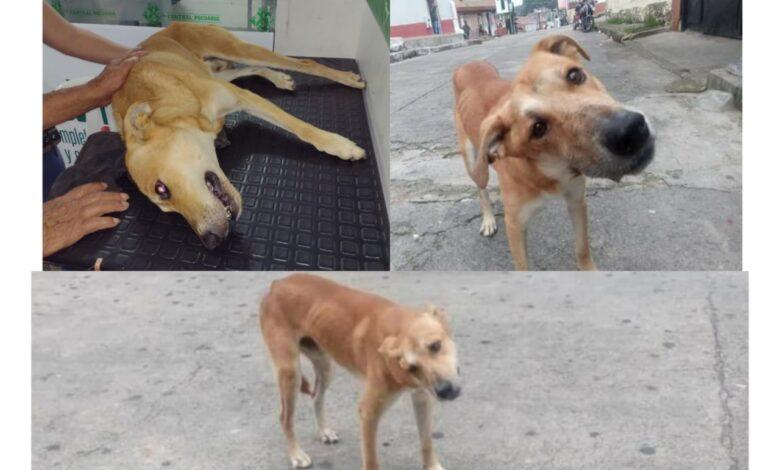 Piden ayudar a 'Cariño' el perrito atropellado en Ibagué 3