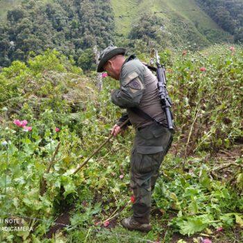 Más de 9.574 metros de cultivos de Amapola erradicados en Anzoátegui 6