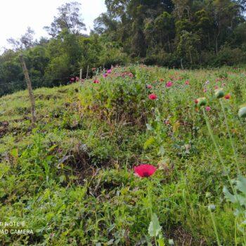 Más de 9.574 metros de cultivos de Amapola erradicados en Anzoátegui 4