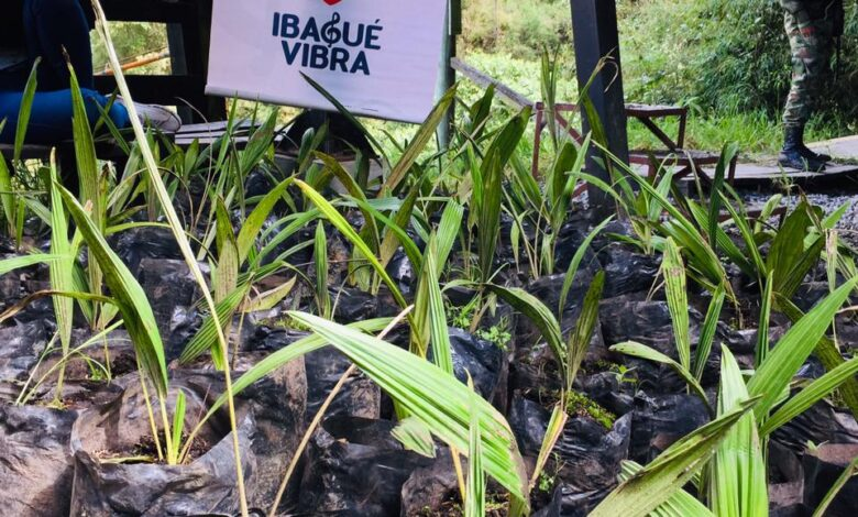 Más de 500 palmas de cera fueron sembradas en el Cañón del Combeima 3
