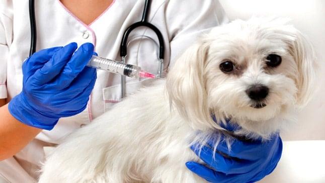 Perros y gatos están siendo inmunizados contra la Rabia en Melgar 1